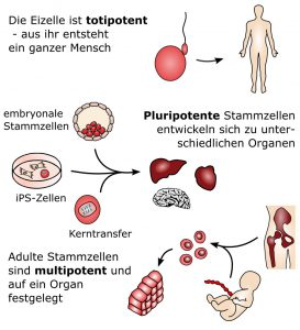 toti-, multi- und pluripotente stammzellen