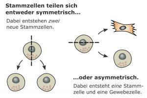 teilung von stammzellen