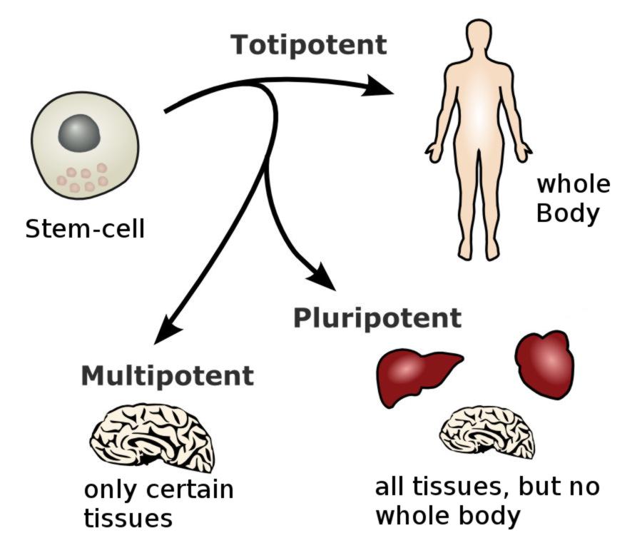 abilities of stemcells