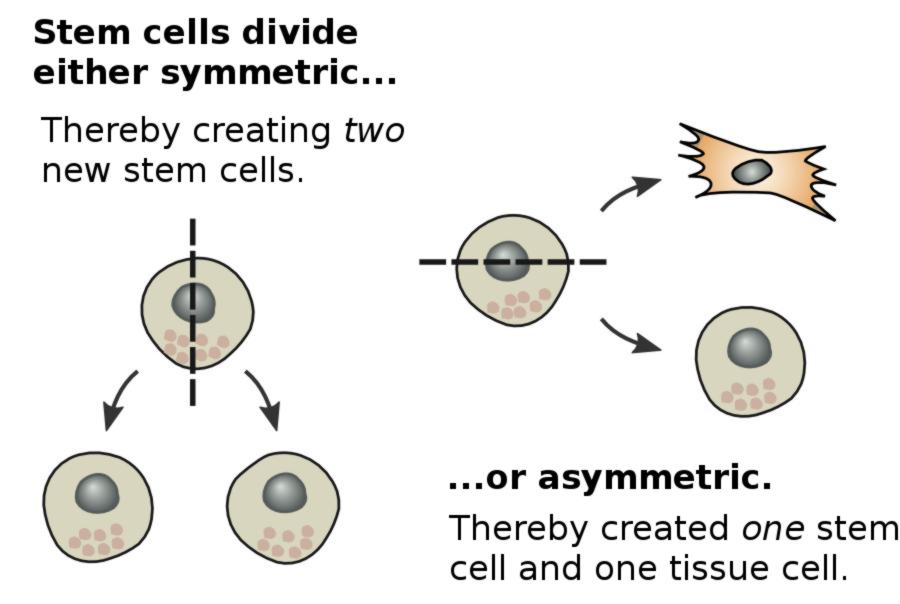 division of stem cells